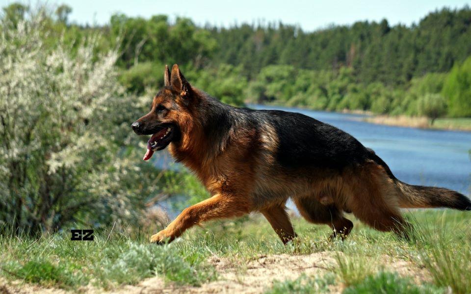 Немецкая овчарка - самая служебная собака